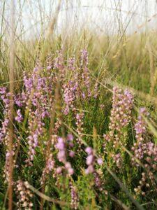 Heide im Moor